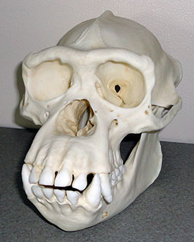 Chimp skull from Bone Clones