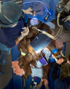 Aerial view of surgery on Daniel the Orangutan