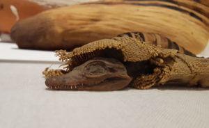 crocodile mummy photo