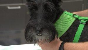 A dog undergoing treatment at the Purdue Veterinary Teaching Hospital - WSB-TV