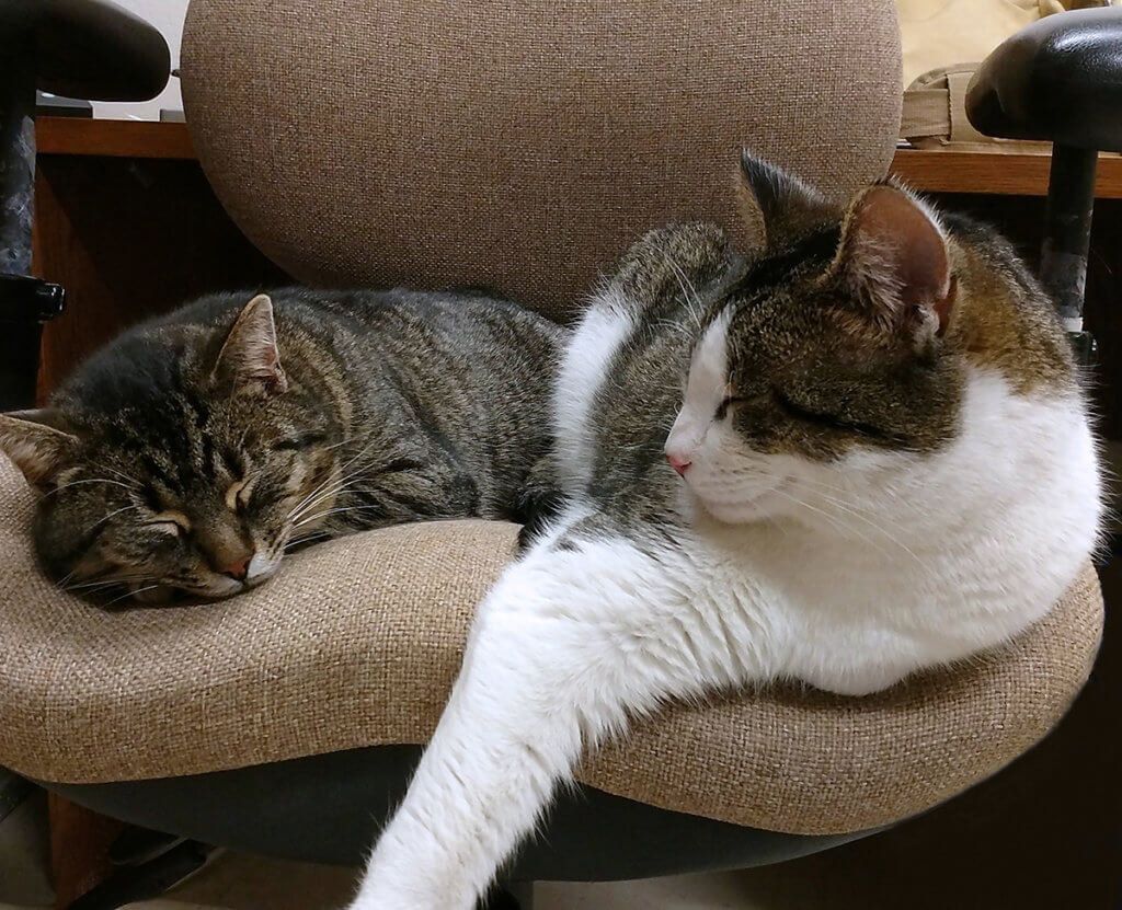 Pet professor cats, Mac and Cheese, pictured relaxing on a chair