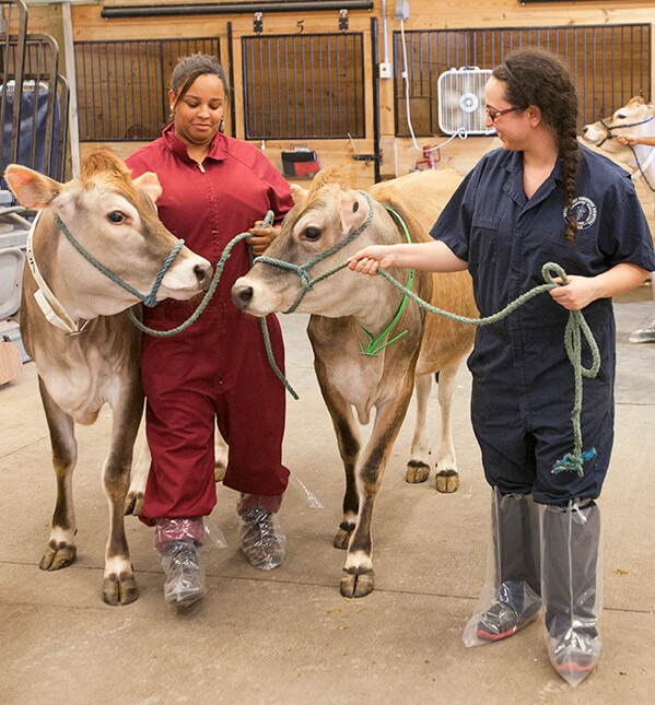 Veterinary students Micah Rollie and Jessica Linder pictured walking with cows