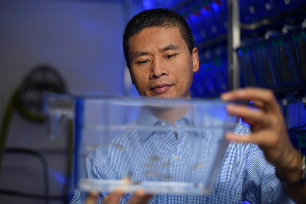 Dr. GuangJun Zhang pictured in lab with zebrafish