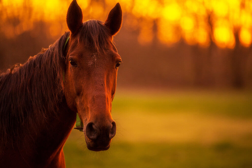 close-up of a horse's face at sunset