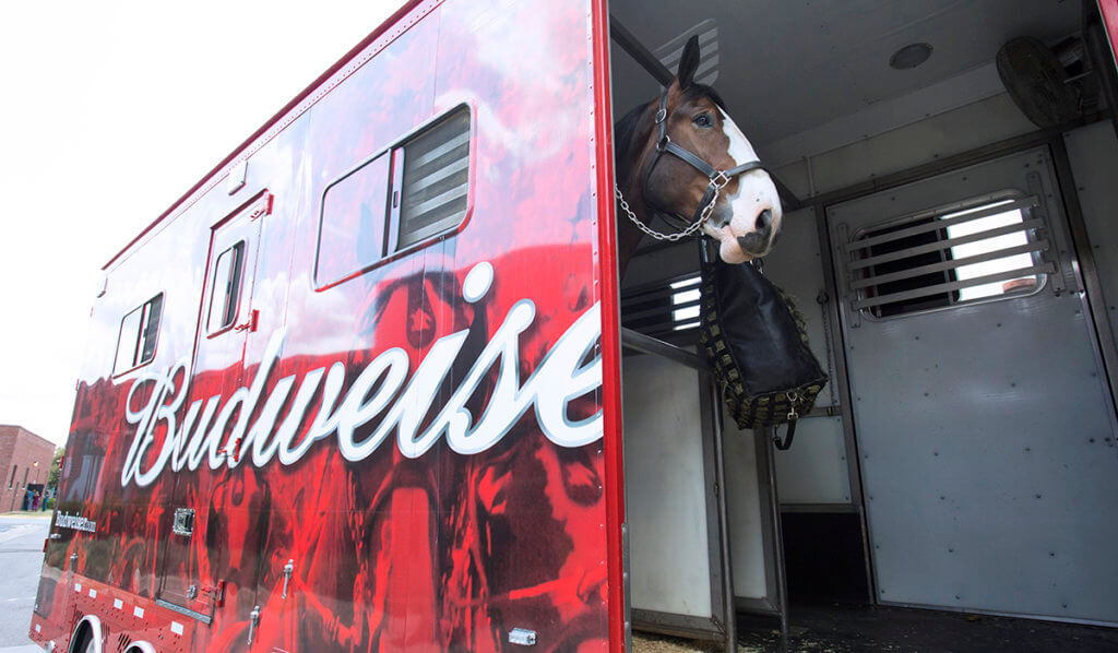 Majestic the Budweiser Clydesdale stands in his horse trailer