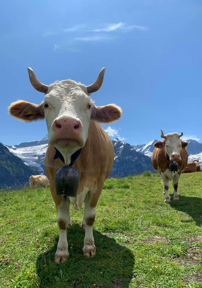 Two cows are pictured on a hillside with mountain ranges in the background