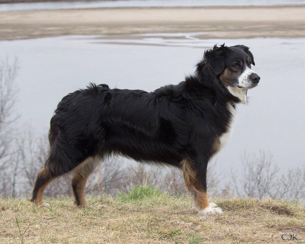 An Australian Shepherd stands in profile in front of a waterway