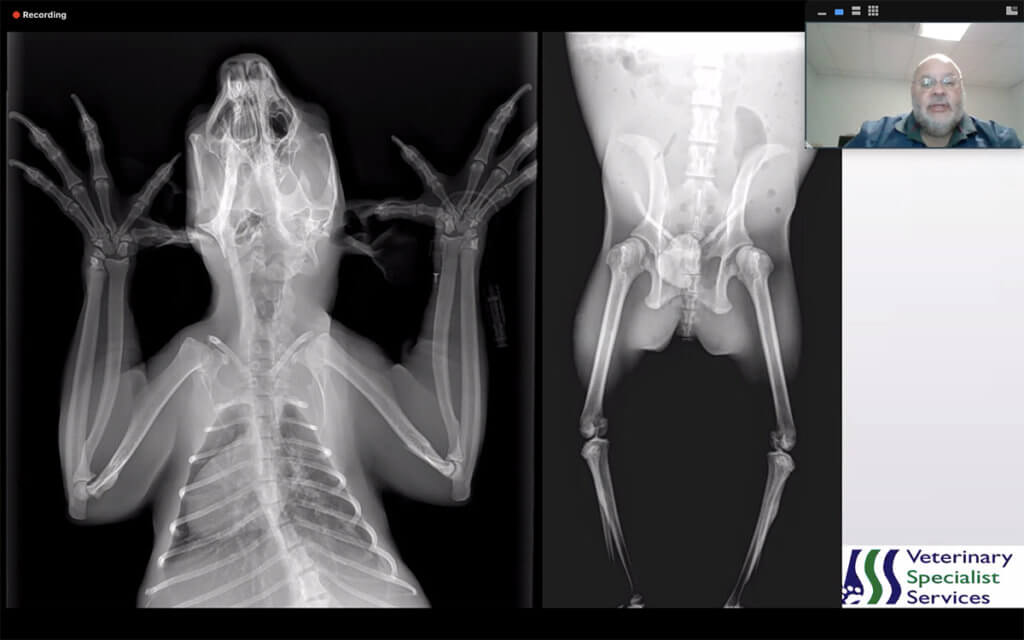 Dr. Moses is pictured in a Zoom lecture screen shot with an xray of a koala pictured on the screen
