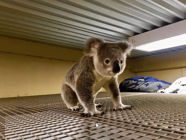 Fran the koala stands on top of a crate