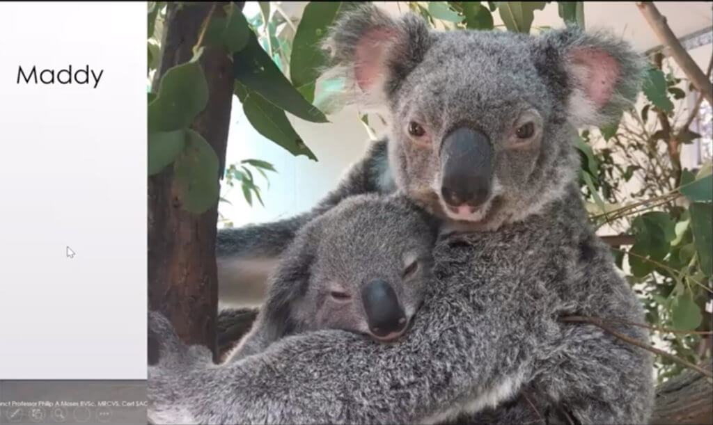 Maddy, an adult female koala, holds her joey in a tree