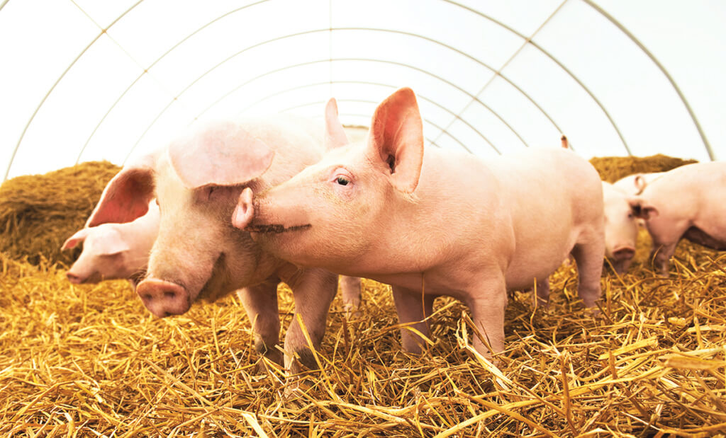 piglets standing in straw