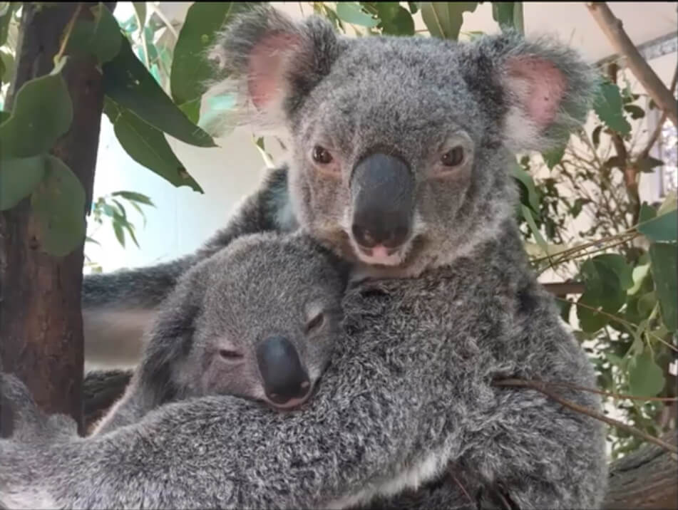 Maddy the koala sits in a tree holding her joey
