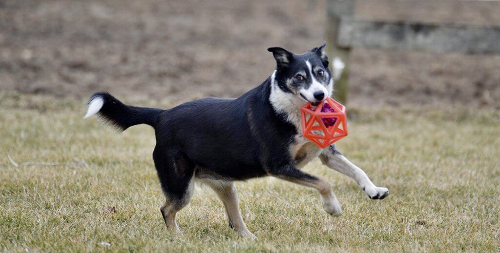 Sheeba pictured running with a toy ball in her mouth