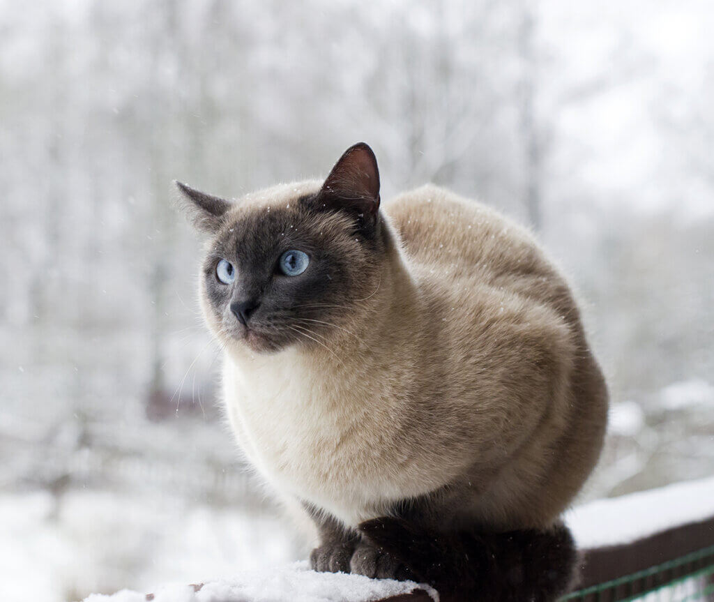 Cat with blue eyes sits on a snow covered railing