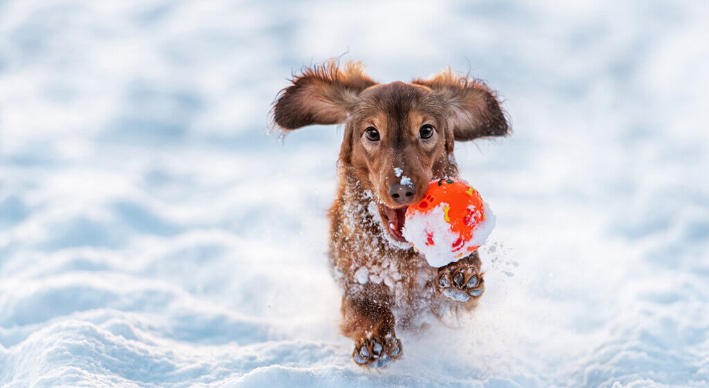 Longhaired Dachshund dog runs with the ball in his mouth with the snow