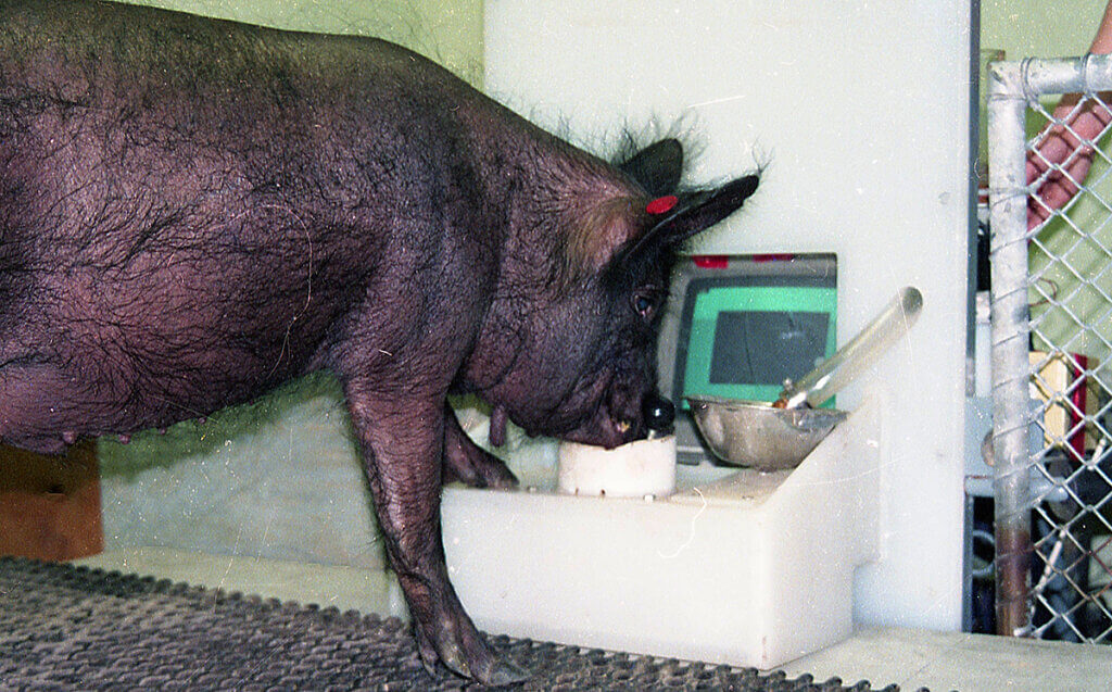 Ebony the pig pushes a joy stick with her snout in front of a small computer screen