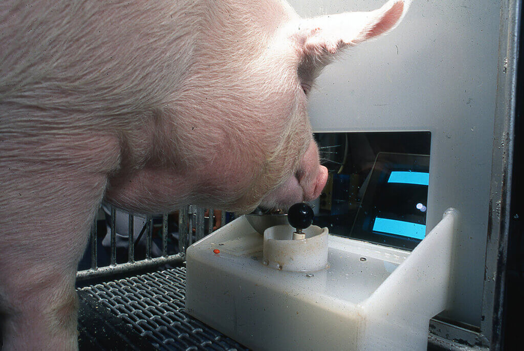 Omelette the pig watches the computer screen