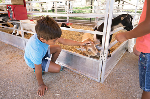 A young fairgoer at the Indiana State Fair pets a baby goat. Purdue veterinary students and faculty meet the veterinary needs of all the exhibition animals at the Indiana State Fair, including all the goats at the petting zoos.