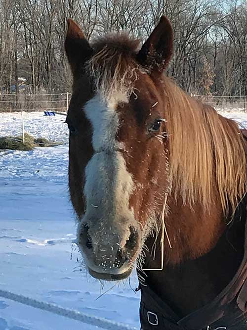 This horse is feeling the winter chill. Winter grooming can be a challenge due to cold temperatures, long hair coats, and often lots of mud. But by following a few key guidelines, you can keep your horse healthy, happy, and handsome in the cold.